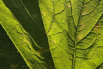 Sun Shinning Through Squash Leaf with Veins