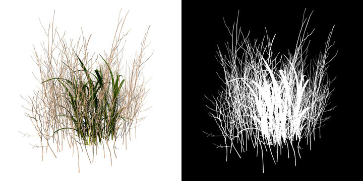 Front view of Plant ( Dry tall grass 1) Tree png with alpha channel to cutout made with 3D render