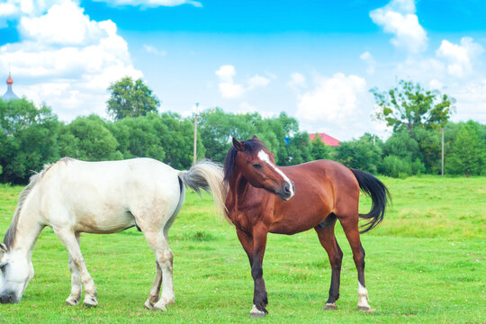 Two horses grazing on green spring fields. White and brown domestic horse near village