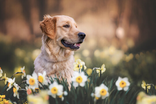 Golden Retriever im Frühling