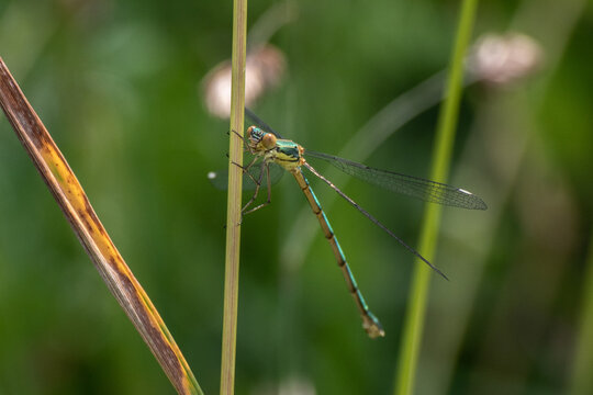marais villers sur mer 14 calvados normandie blue dragonfly Eastern pondhawk, Erythemis simplicicollis, Libellule