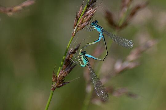 deux libellules bleues sur un brin d'herbe