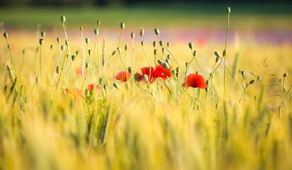 Obraz Piękno Makowych Kwiatów  - fototapety do salonu