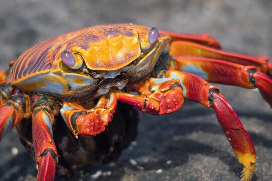 Close Up of Sally Lightfoot Crab - Galapagos Islands