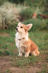 Fototapeta a small red corgi puppy with a long tail, sitting on the green gra obraz