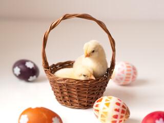 Fototapeta Dwa puszyste i słodkie kurczaczki wielkanocne w koszyku  obraz