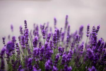 Obraz Kwiaty lawendy. Lawendowy prowansalski klimat lata.  - fototapety do salonu