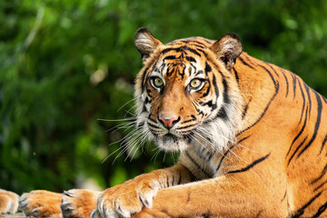 The Bengal tiger is a tiger from a specific population of the Panthera tigris tigris subspecies that is native to the Indian subcontinent.