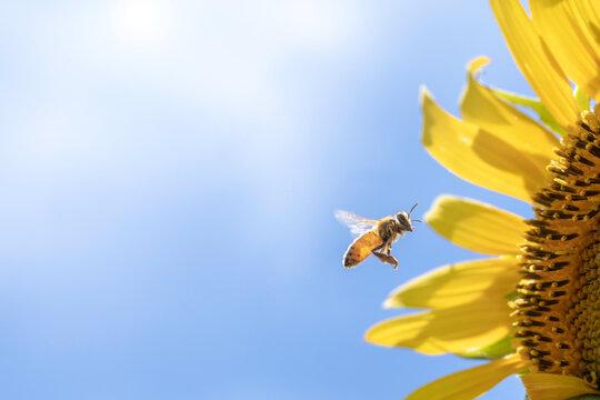 青空を背景ひまわりの花粉集めに忙しいミツバチ