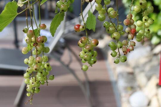 Grüne und rote Johannisbeeren hängen am Strauch