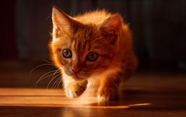 Obraz Mały rudy kotek - fototapety do salonu
