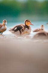 Fototapeta Kaczka Duck obraz