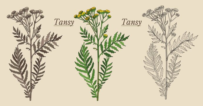 tansy is a useful plant for the pharmacy from various diseases of yellow color strongly smelling