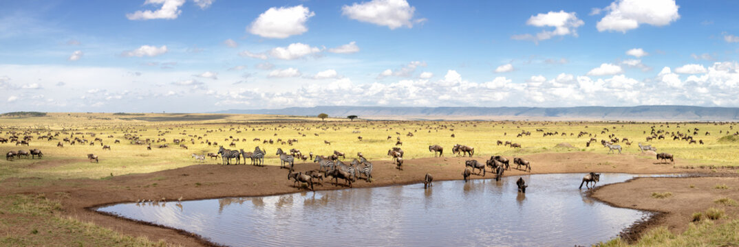Panorama of zebra and wildebeest at a waterhole in the Masai Mara