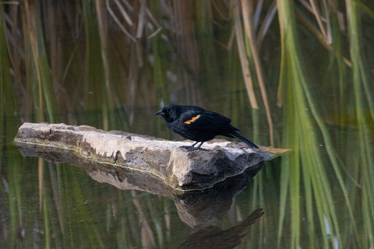 Red-Winged Blackbird on a Log