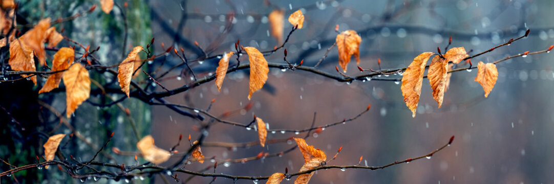There is wet snow in the forest. Tree branch with withered leaves in the autumn forest during the snowfall