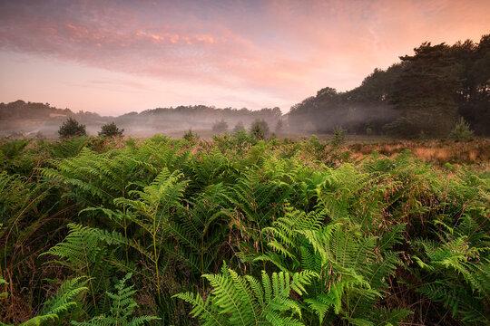 green fern in fog at summer sunrise