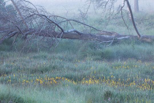 yellow bog asphodel flowers on moor