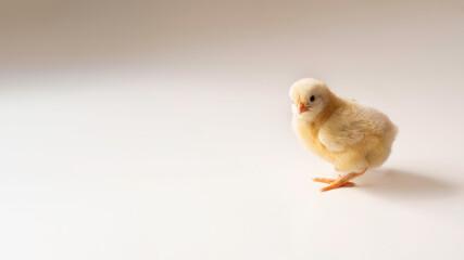 Obraz Żółty kurczak wielkanocny na białym tle - fototapety do salonu