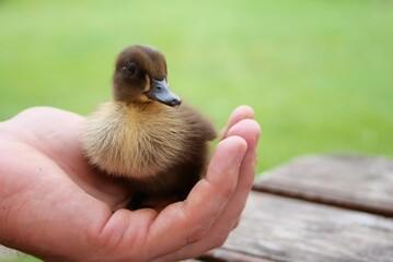 Fototapeta Mała kaczka obraz