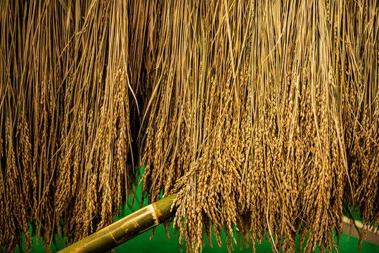 rice yellow nature farm seed