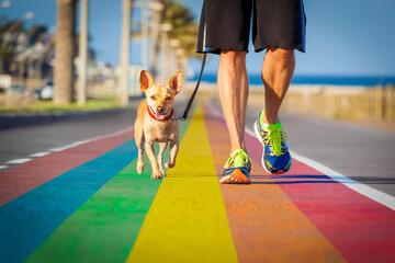 Fototapeta gay pride dog rainbow street with owner walking obraz