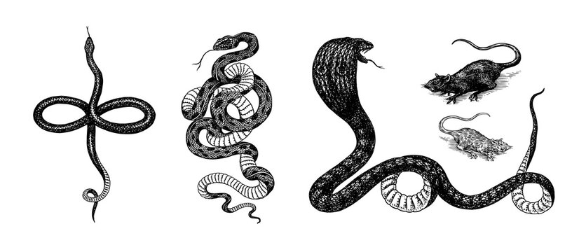 Set of snakes. Pythonidae or python. Boinae or boas or boids. Eastern racer or Coluber constrictor. Indian cobra or spectacled or Asian or binocellate. Engraved hand drawn in old sketch, vintage style