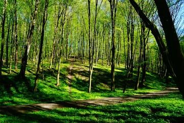 Obraz Leśna droga wiosną w otoczeniu soczystej zieleni - fototapety do salonu