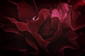 Fototapeta Róża czerwona obraz