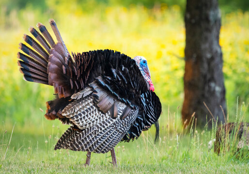 A wild turkey struts his stuff along the side of the road in Waukesha County, Wisconsin.