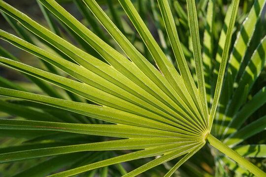 A fresh green leaf of a Chamaerops palm