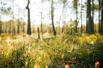 Obraz Calluna, Calluna Vulgaris, Common Heather, Ling, Heather, Native To Marshes. Close Up Autumn Plants In Sunset Sunrise Sunlight - fototapety do salonu