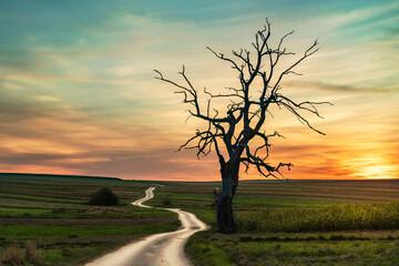 Fototapeta old tree and sunset sky  obraz