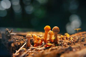Obraz Close-up of a group of mushrooms growing on dry hemp and dark forest background in sunlight. - fototapety do salonu