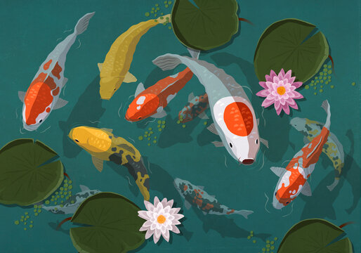 Koi fish swimming in pond with lily pads