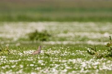 Tureluur, Common Redshank, Tringa totanus