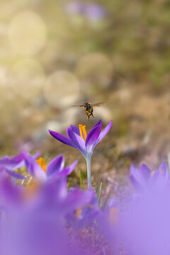 Macro of a bee hovering above purple early Spring crocus flower. Insect mid air photo. Shallow depth of field, soft focus, blur and bokeh