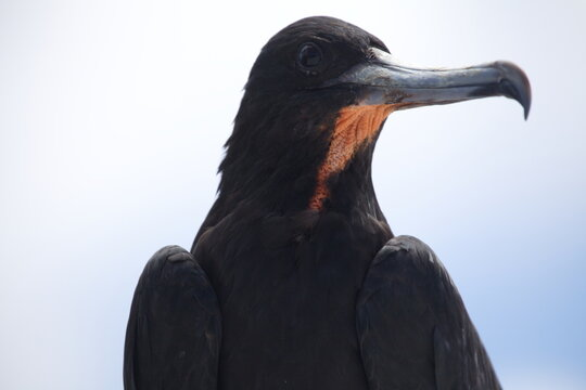 Side on close up portrait of Magnificent Frigatebird (Fregata magnificens) long beak Galapagos Islands.
