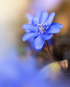 Macro of a single blue spring anemone flower in between other flowers. Shallow depth of field, soft focus and blur. Sun shining