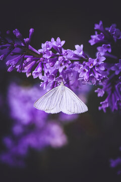 Macro of a white butterfly on purple lilac flowers. Moody, dark and faded edit with muted background. Shallow depth of field, soft focus and blur