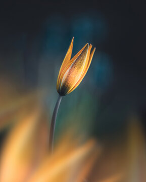 Macro of single isolated rellow tulip flower against soft, blurred dark background with bokeh. Foreground flowers creating fore-like blur