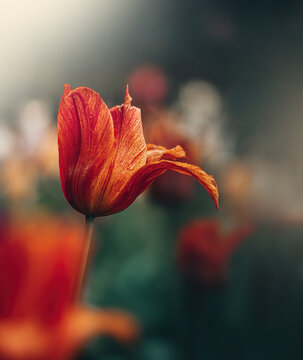 Macro of single isolated red and orange tulip flower with petals hanging against soft, blurred green background with bokeh bubbles and sunshine