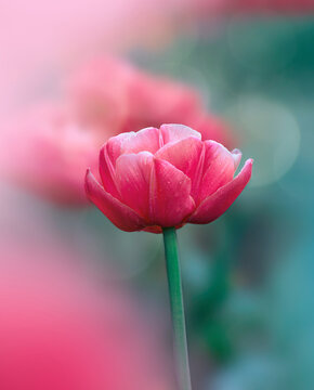 Macro of single isolated red and pink tulip flower against soft, blurred green background with bokeh bubbles and sunshine