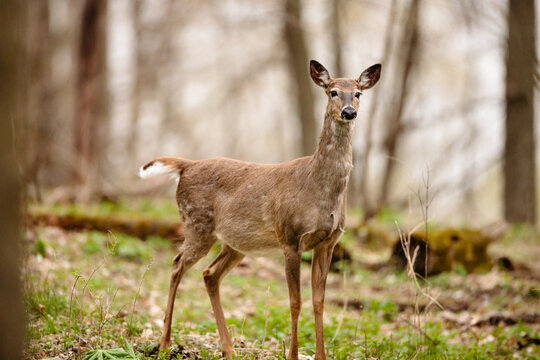 A white-tailed deer doe,, in the woods in late April near Hartford, Wisconsin, starting to shed its winter coat.