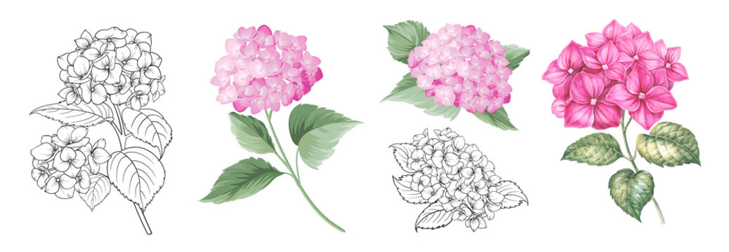 Set of differents hydrangea on white background. Watercolor, line art, outline illustration.