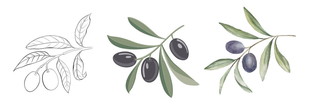 Set of differents olives branches on white background. Watercolor, line art, outline illustration.