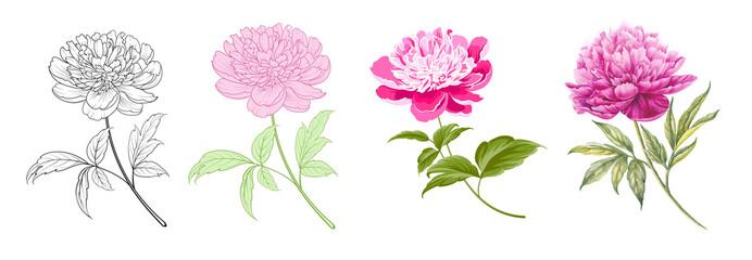 Obraz Set of differents peony on white background. Watercolor, line art, outline illustration. - fototapety do salonu