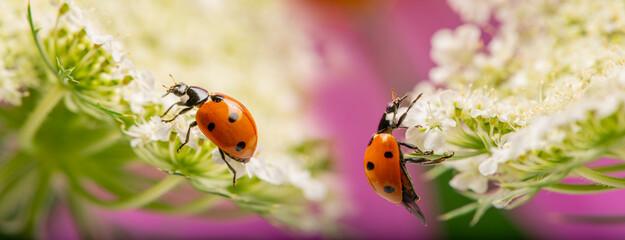 Obraz seven-spot ladybird, Coccinella septempunctata on a flower - fototapety do salonu