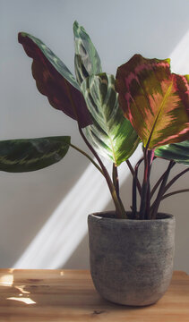 Calathea medallion, a tropical Prayer plant with unique colourful patterned leaves with a deep burgundy underneath in a stone pot on a wooden surface isolated on a light background. Copy Space.