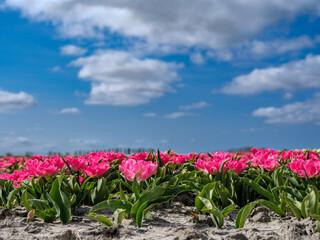 Tulpenveld in Heerhogowaard, Noord-Holland